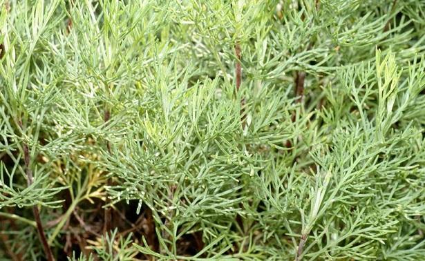coltivazione piante officinali