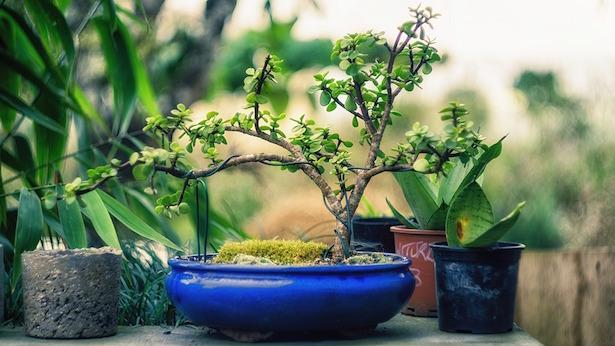 come fare bonsai