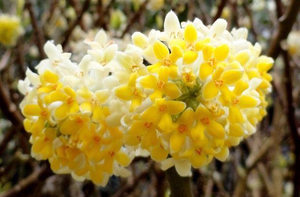 Fiori che sbocciano in autunno e inverno idee green for Fiori piccoli bianchi