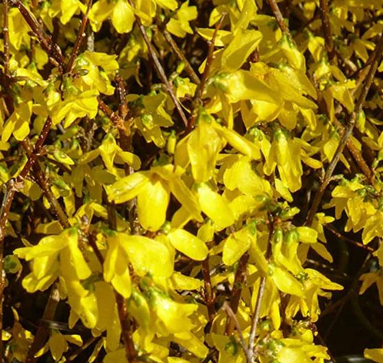 Fiori di forsizia gialli