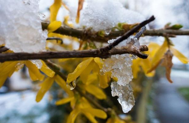 ramo ghiacchiato di forsizia