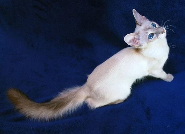 Cucciolo di gatto balinese