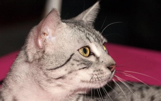 gatto mau egiziano