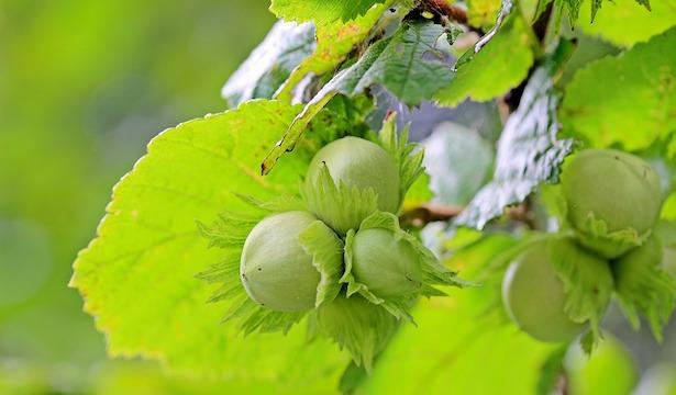 nocciolo coltivazione pianta
