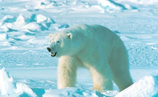 orso polare