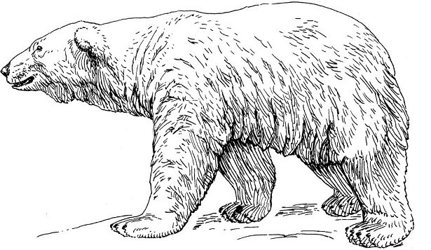 Orso polare idee green - Orsi polari pagine da colorare ...