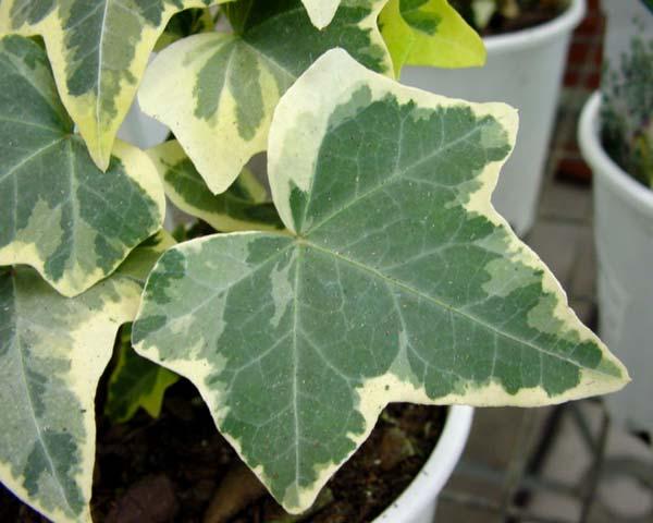 Piante rampicanti da giardino idee green for Pianta rampicante sempreverde