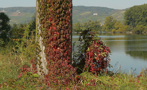 Piante rampicanti da giardino idee green for Piante rampicanti sempreverdi