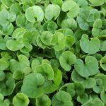 Prato in ombra idee green for Erba dicondra