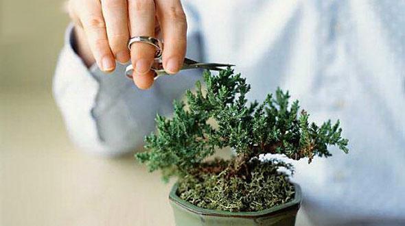 potatura del bonsai