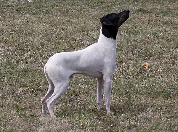 Terrier giapponese