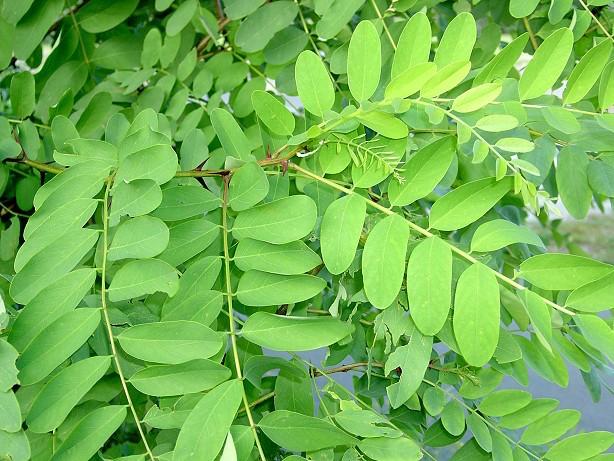 Acacia albero e fiori idee green for Acacia albero