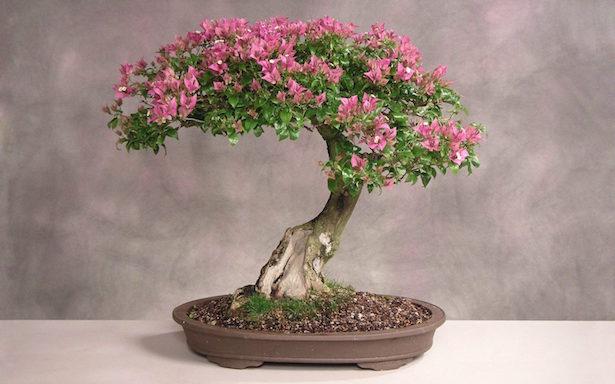 bonsai irrigazione