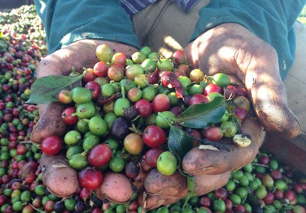 coffea arabica pianta in vaso