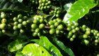 coltivare caffe in casa
