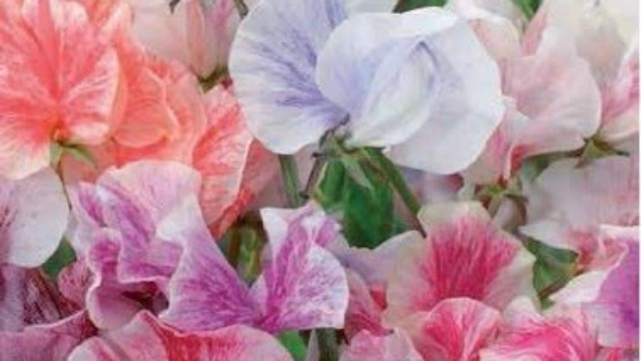 Coltivare Piselli In Vaso piselli odorosi in vaso - idee green