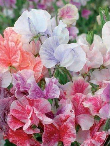fiori pisello odoroso