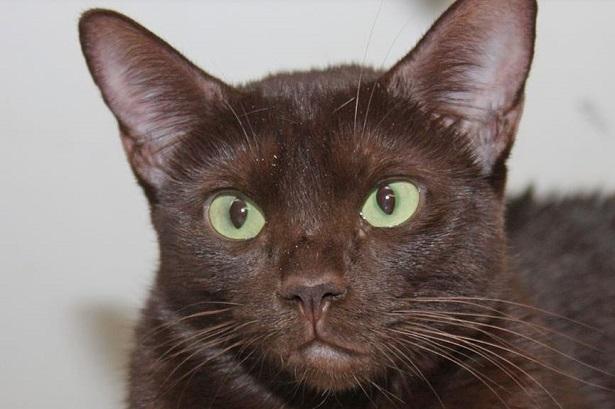 Risultati immagini per havana brown gatto