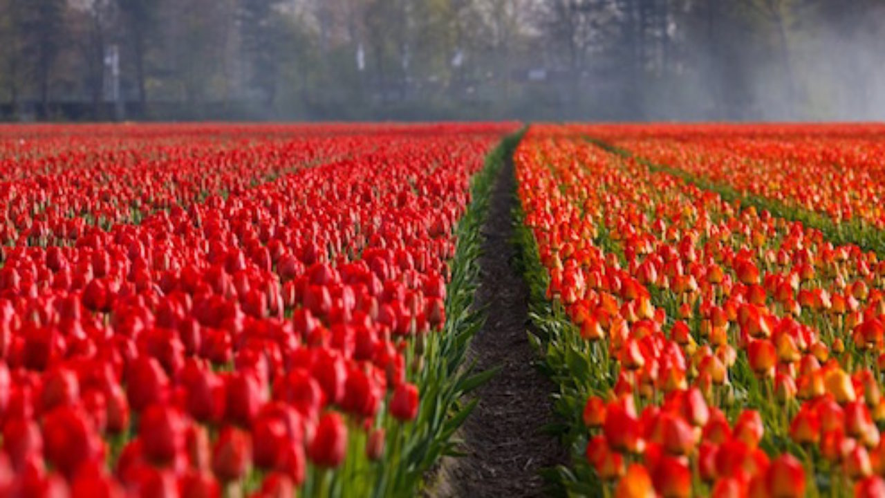 Piantare I Bulbi Di Tulipani piantare tulipani, guida completa - idee green