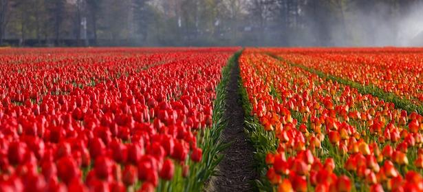 piantare tulipani