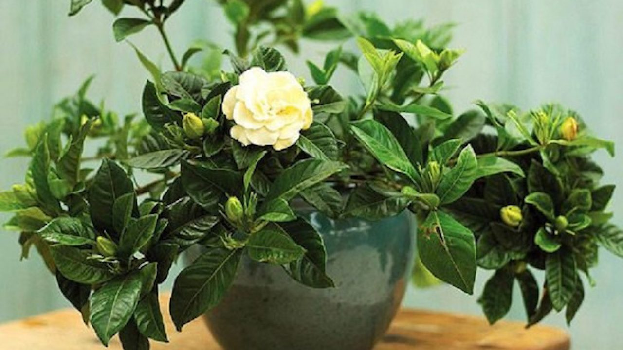 Piante Rampicanti Da Interno piante profumate da appartamento - idee green