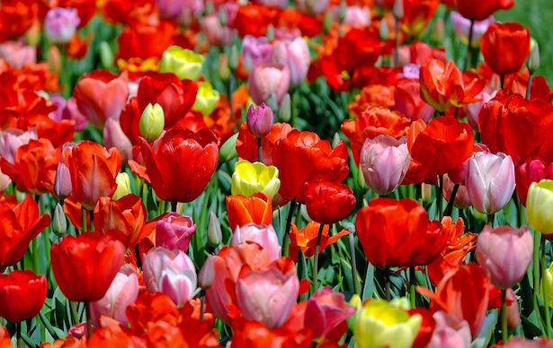 tulipani coltivare