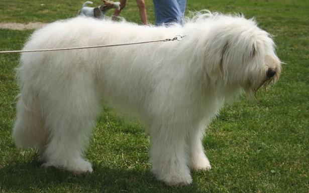 Cane da pastore della Russia meridionale