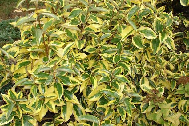 Eleagno pianta e coltivazione idee green for Siepe in vaso
