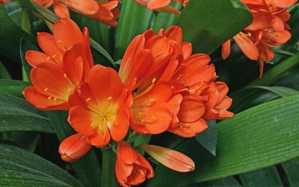 Clivia coltivazione e cure idee green for Pianta fiorita da esterno
