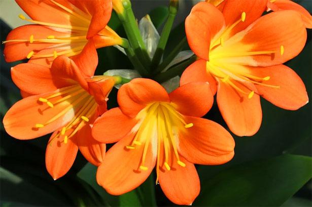 clivia fiorita