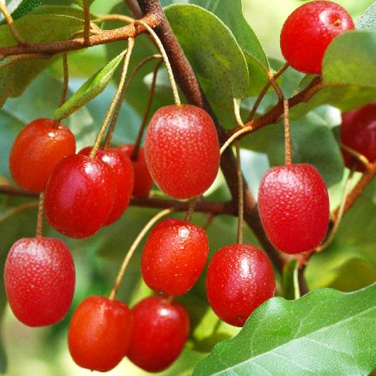 frutti eleagno