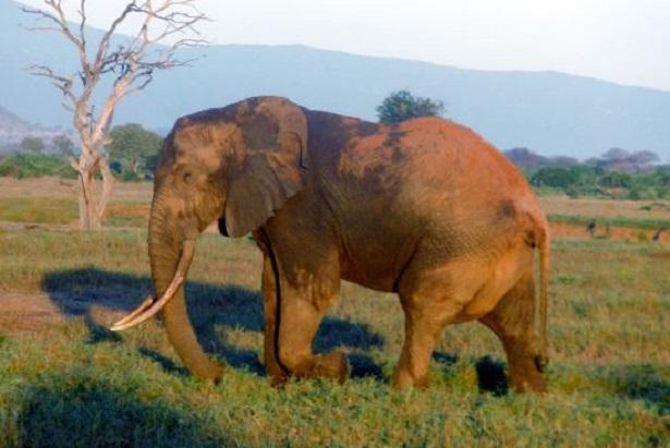 Gestazione elefante