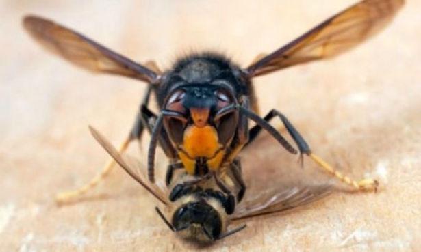 vespa velutina in italia
