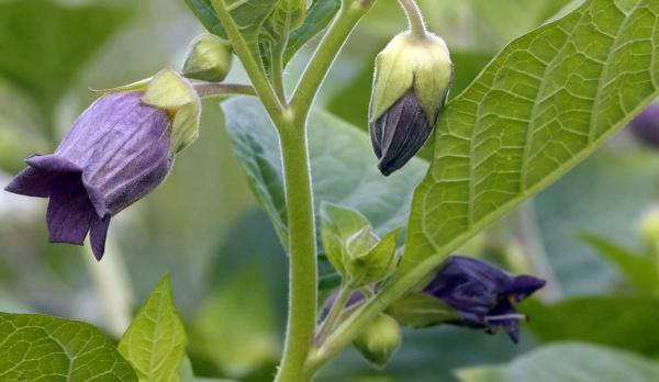 belladonna pianta
