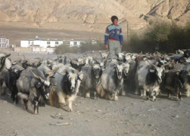 Gregge di Caprette tibetane