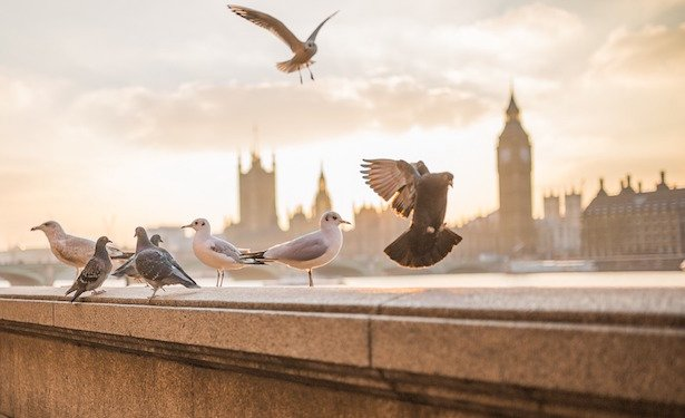 come allontanare i colombi