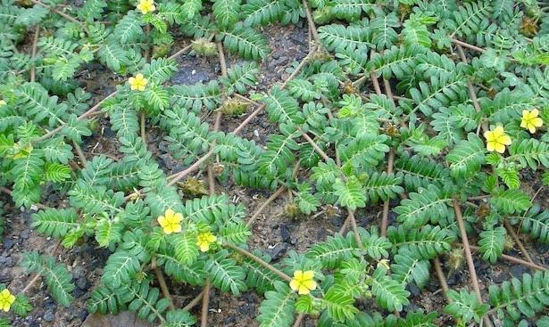 Tribolo pianta