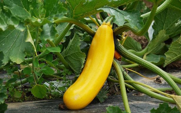 zucchino giallo coltivazione