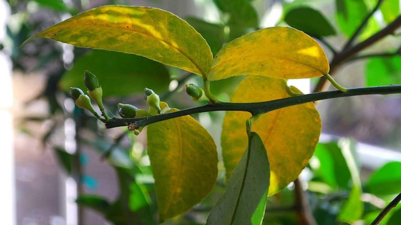 Agrumi con foglie gialle - Idee Green