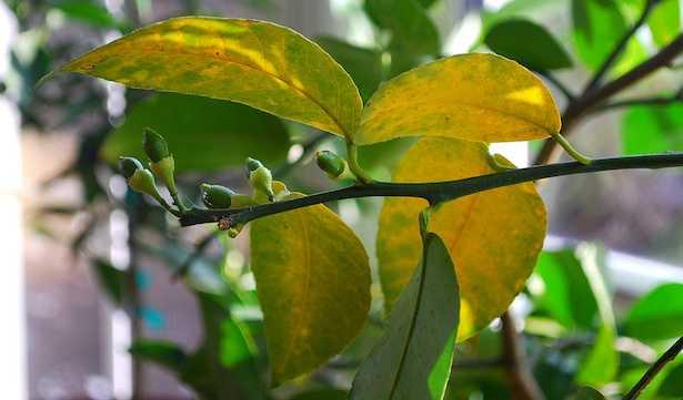 Agrumi con foglie gialle