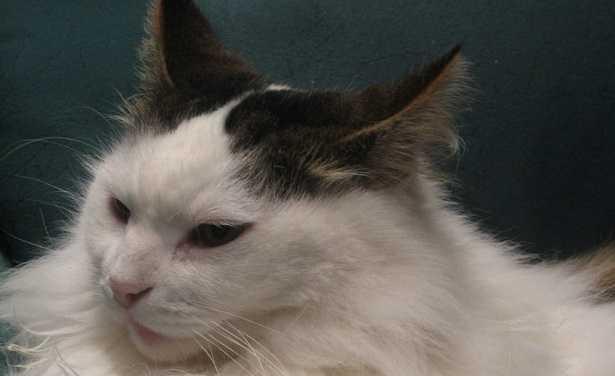 Linguaggio gatti