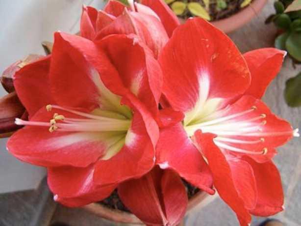 amarillis fiori