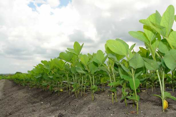 coltivazione soia