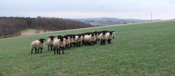 gregge di Pecore Suffolk