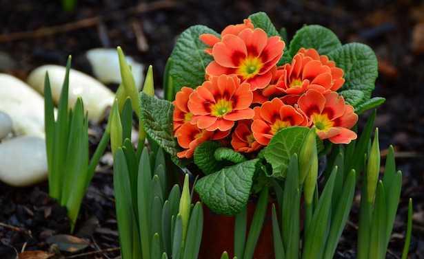 Coltivare primule in vaso idee green for Primule immagini