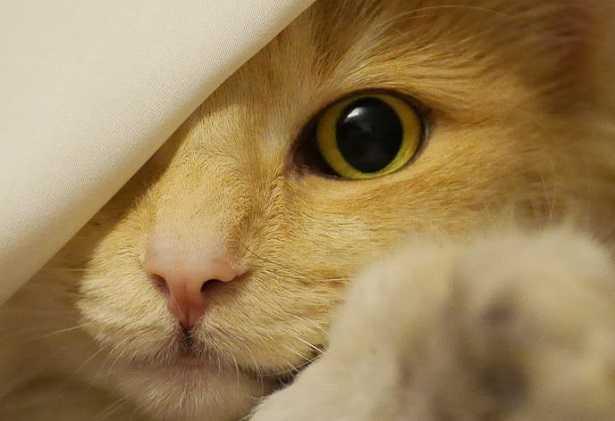 Glaucoma nel gatto