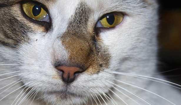 malattie occhi del gatto