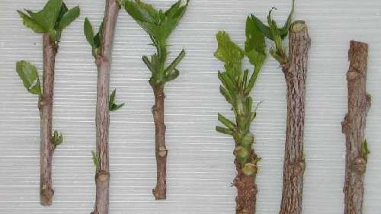 Fare Talee Di Oleandro talea di legno semimaturo - idee green