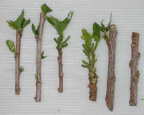 talea legno semimaturo
