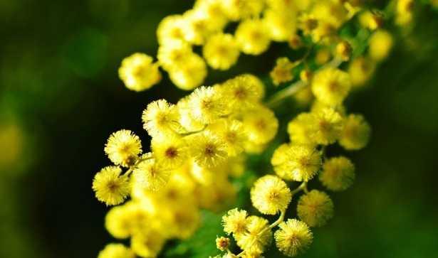 fiori giallo verdognoli a grappolo